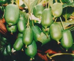 Actinidia arguta plod