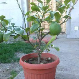 Limun (Citrus x limon) sadnica