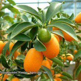 Fortunela – Kumkvat – Kineska pomorandža