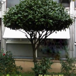 Lovor višnja – Prunus laurocerasus