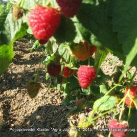Malina (Rubus idaeus) – Polana 5 kom.
