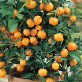 Mandarina sadnica (patuljasta)