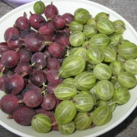Ogrozd – Ribes grosularia (beli)