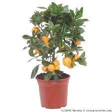 Pomorandža sadnica (narandža)