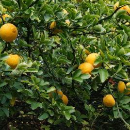 Sibirski limun (Poncirus trifoliata)