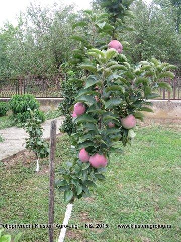 St jabuka Vesna 1