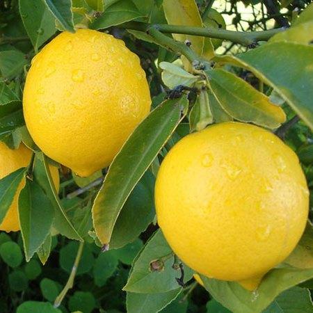 limun-mesecar
