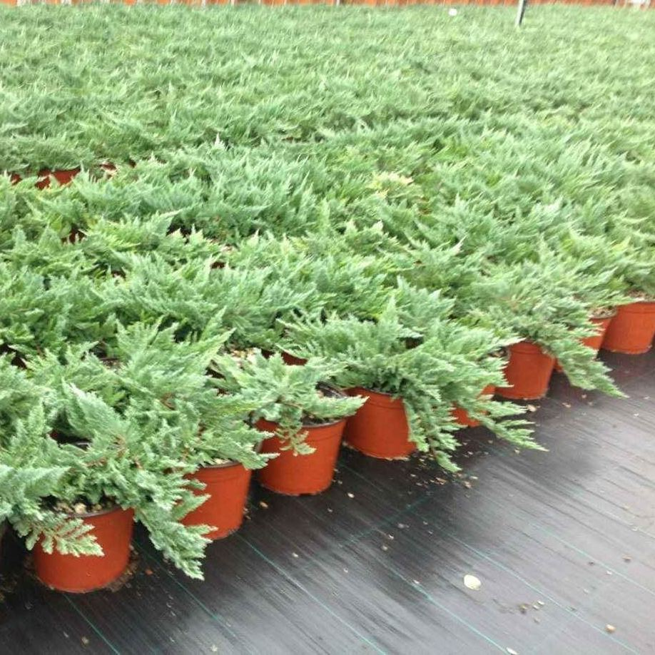 puzeci-juniperus
