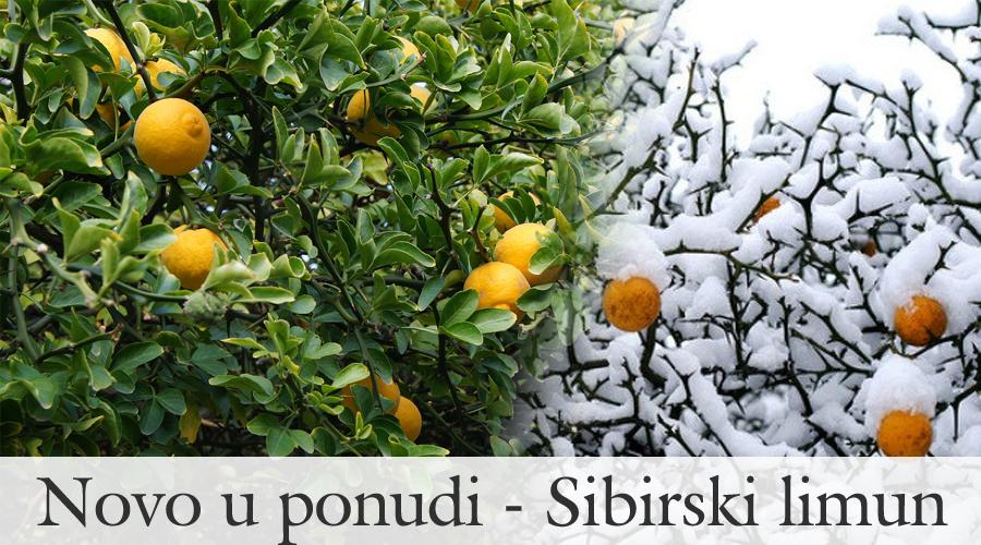 sibirski limun agro jug