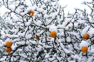 sibirski-limun-poncirus-trifoliata-zimootporni-agrum