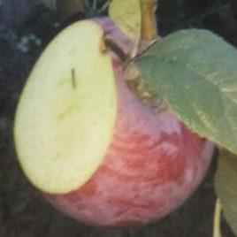Stubasta jabuka sorta Fresco