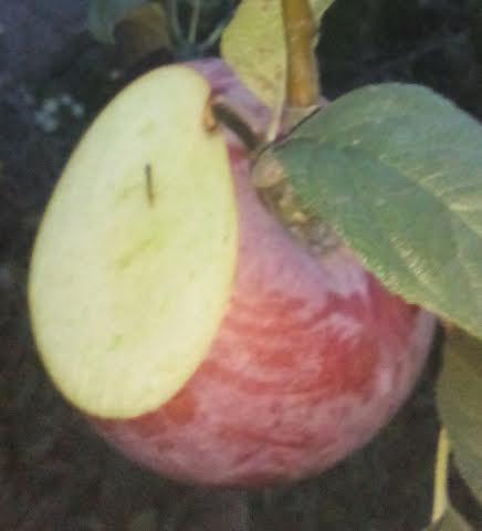 stubasta jabuka freska