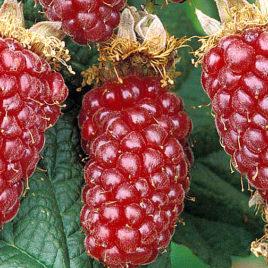 Tajberi, grmasto voće 3 kom