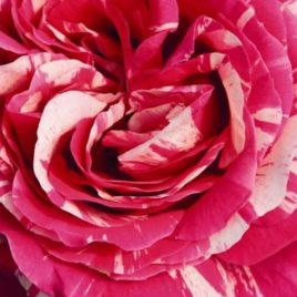 Patuljasta ruža – Best Impresion (sadnica)