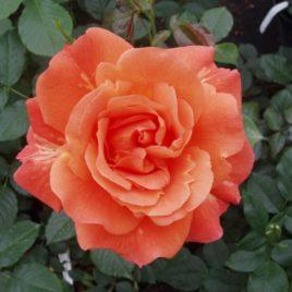 Ruža puzavica – Vesterland (sadnica)