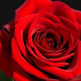 Ruža čajevka – Red Berlin (sadnica)
