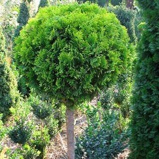 tuja na stapu 21