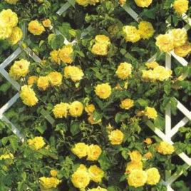 Ruža puzavica – Goldstern (sadnica)