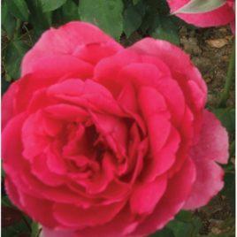 Ruža puzavica – Parada (sadnica ruze)