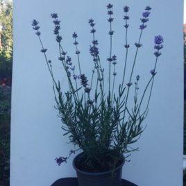 Ljubičasta lavanda – Lav. angustofolia vera