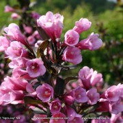 Weigela_Florida_Purpurea-001