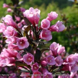 Weigela florida   – Purpurea