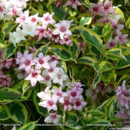 Weigela florida – Nana Variegata (Rosea)