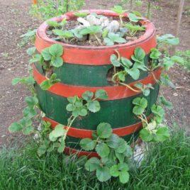 Stalnorađajuća jagoda, mesečarka 10 živića