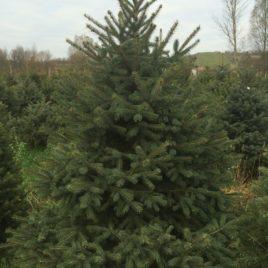 Obična zelena Smrča – Picea abies