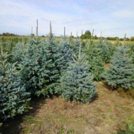 Srebrna Smrča – Picea pungens 'Glauca'