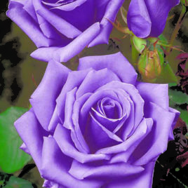 Ruže – veliki izbor svih vrsta
