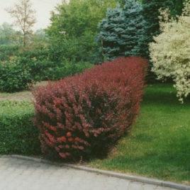 Crveni berberis – Berberis Thunbegrii Atropurpurea