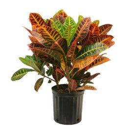 CROTON lat. Codiaeum variegatum