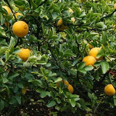 Sibirkis-limun-rodno-drvo