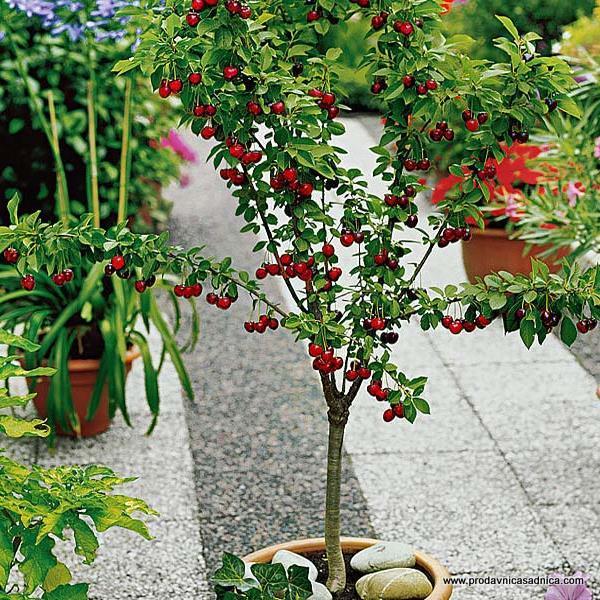 patuljasta-tresnja-sadnica