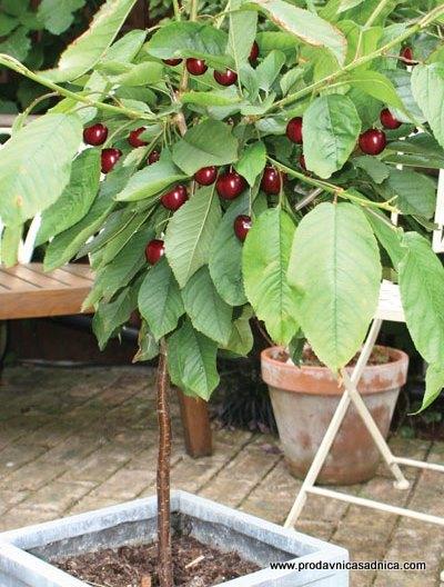 sadnica-patuljasta-tresnja