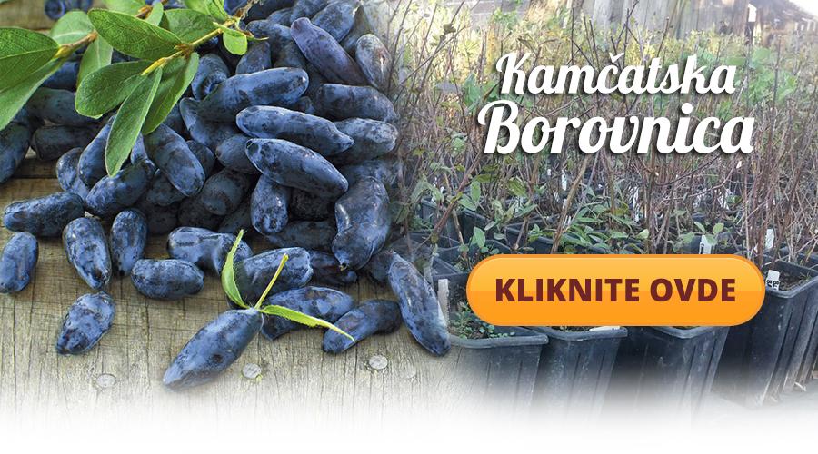 kamcatska-borovnca-cena