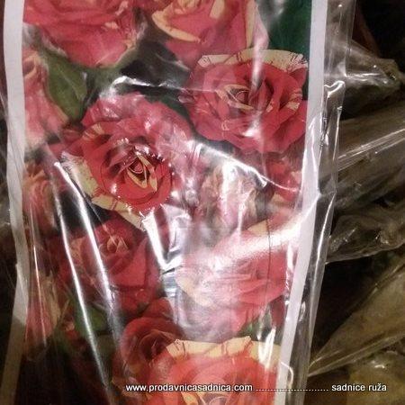 grmolika ruza