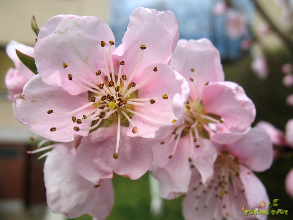 Nektarina cvet