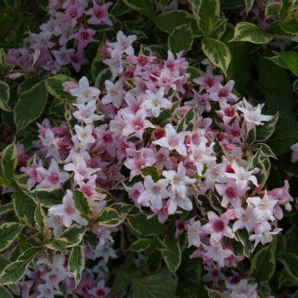 vajgela-florida-nana