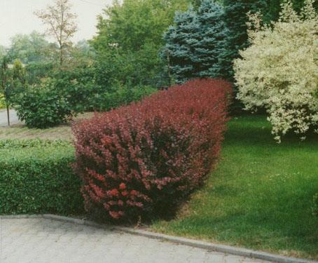 Berberis kao ograda