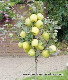 patuljasta-jabuka-sadnica