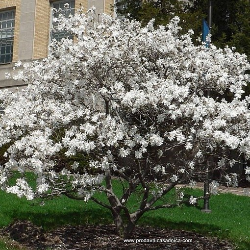 Magnolia-sadnica