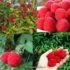 malina jagoda