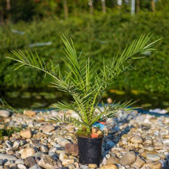 kanarska palma